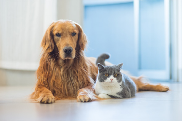 Golden Retriever and Cat laying together